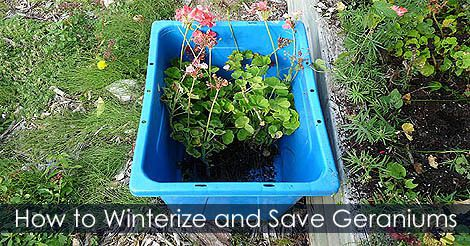 Usa on lockerdome - Overwintering geraniums tips ...
