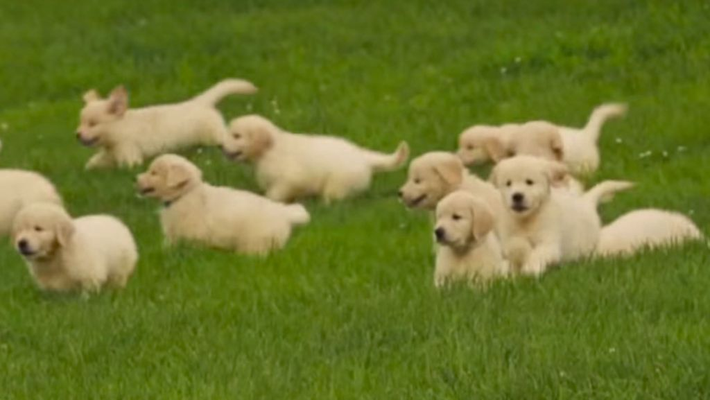What does a golden retriever look like 10