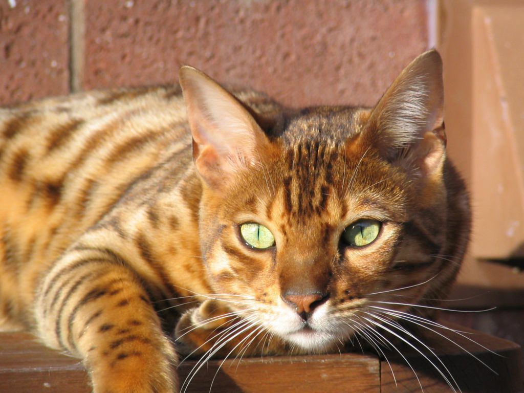 7 things to know about a bengal cat
